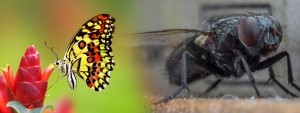 butterfly or common fly